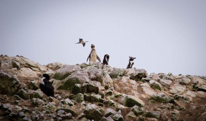 Ruta por Peru - Islas ballestas pingüinos humboldt