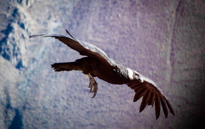 Ruta por Peru - Condor
